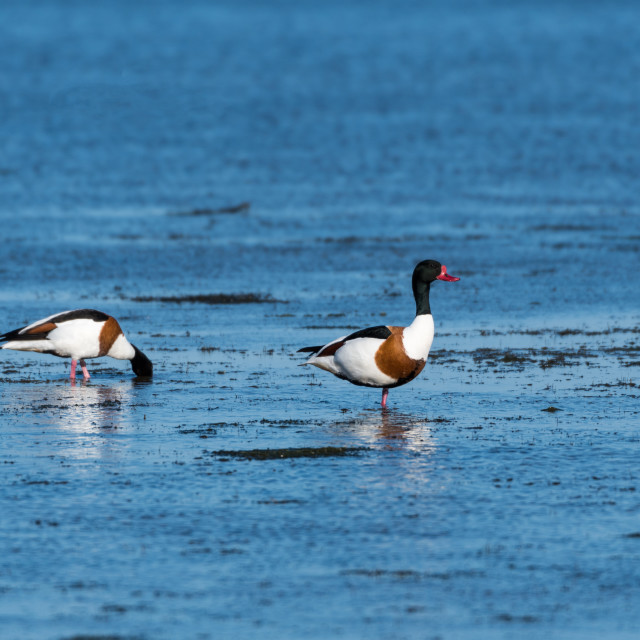 """""""Shelduck couple searching for food"""" stock image"""