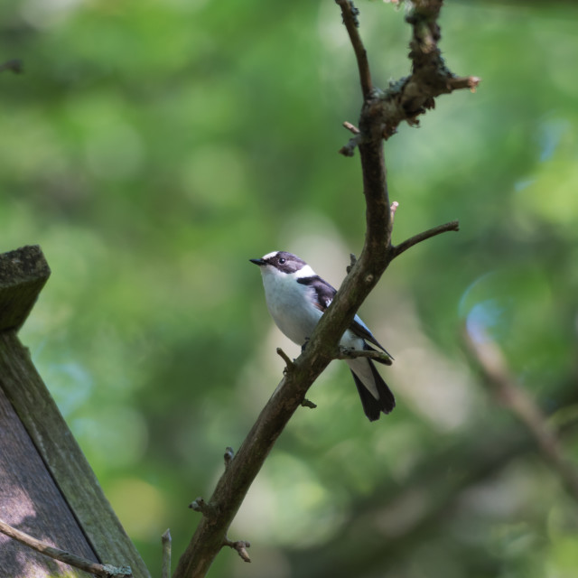 """""""Collared Flycatcher by hid nesting box"""" stock image"""