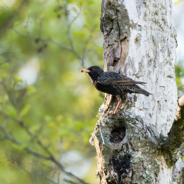 """""""Adult starling with food"""" stock image"""