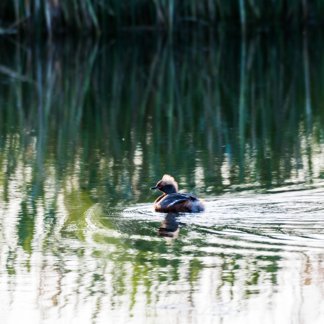 """""""Beautiful duck in water reflections"""" stock image"""