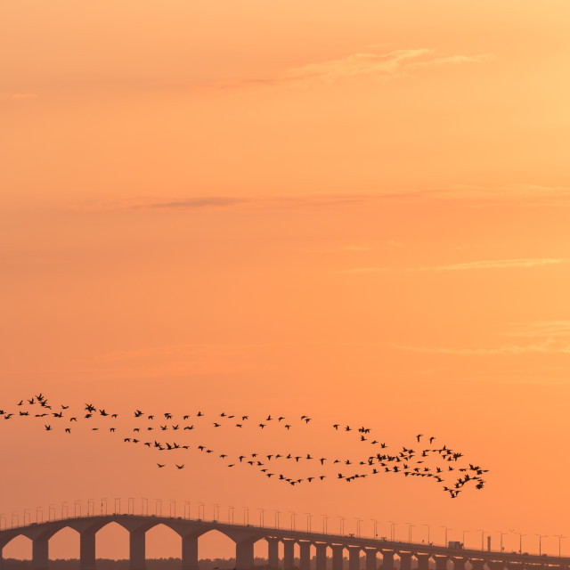 """""""Migrating Brent Geese by a bridge in sunset"""" stock image"""