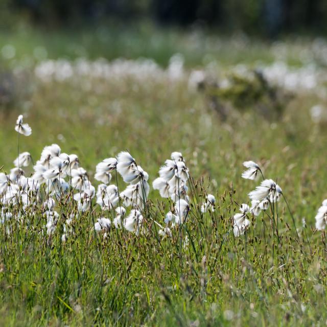 """Common cotton grass closeup"" stock image"