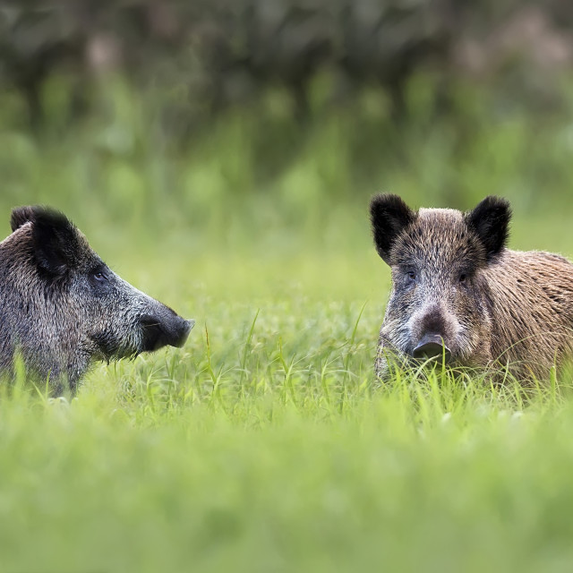 """""""Wild boars in a clearing"""" stock image"""