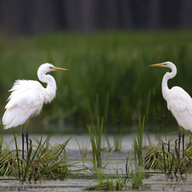"""""""Great Egret in the wild"""" stock image"""