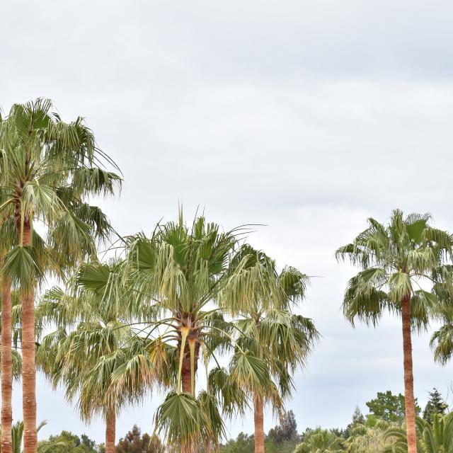 """PalmTrees againts Sky"" stock image"