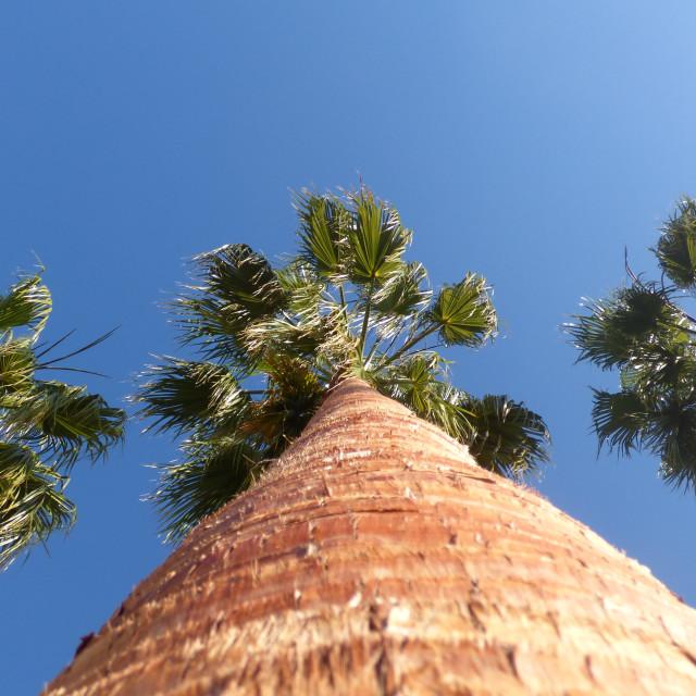 """PalmTrees, againts blue sky"" stock image"