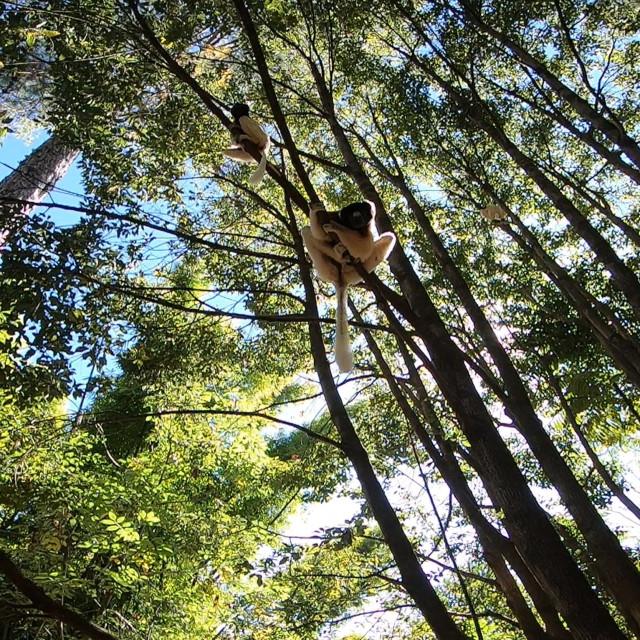 """Sifakas Lemur in trees"" stock image"