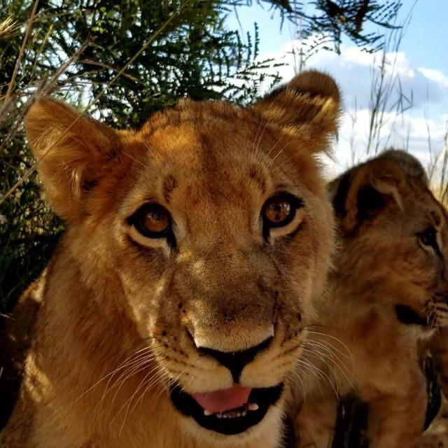 """Lion Cubs"" stock image"