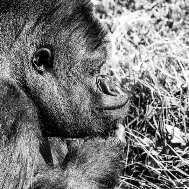 """Gorilla 1"" stock image"