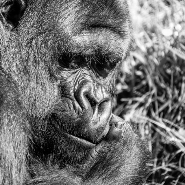 """Gorilla 2"" stock image"
