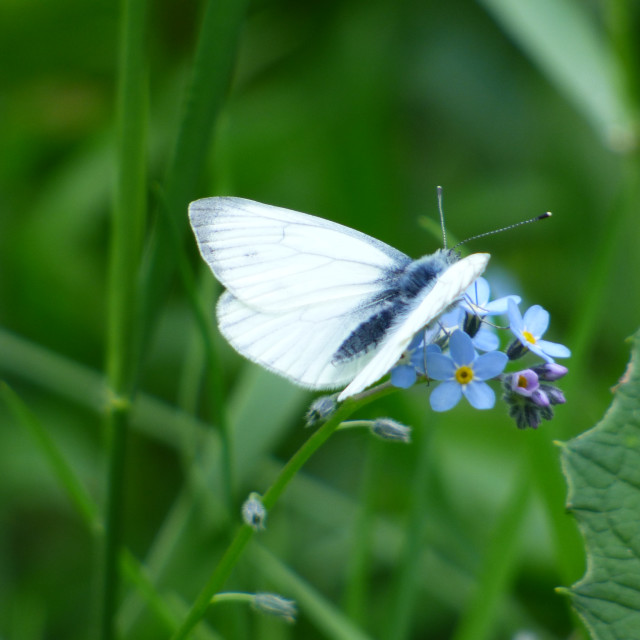 """a small white butterfly"" stock image"