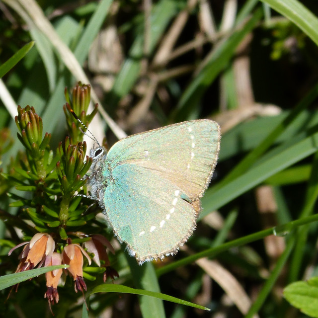 """a green hairstreak butterfly"" stock image"