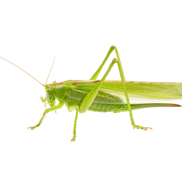 """Green grasshopper isolated on a white"" stock image"