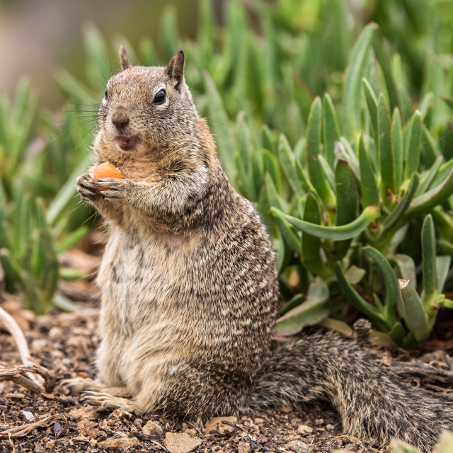 """""""Ground Squirrel Eating a Carrot"""" stock image"""