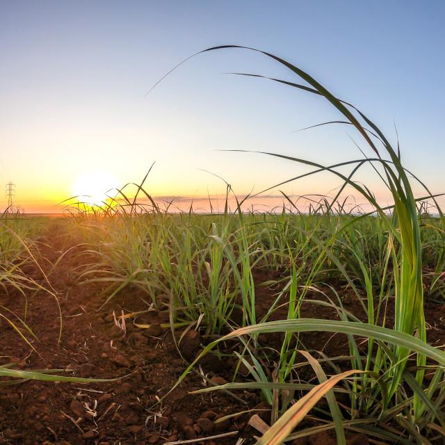 """""""Sugar cane plantation sunset"""" stock image"""