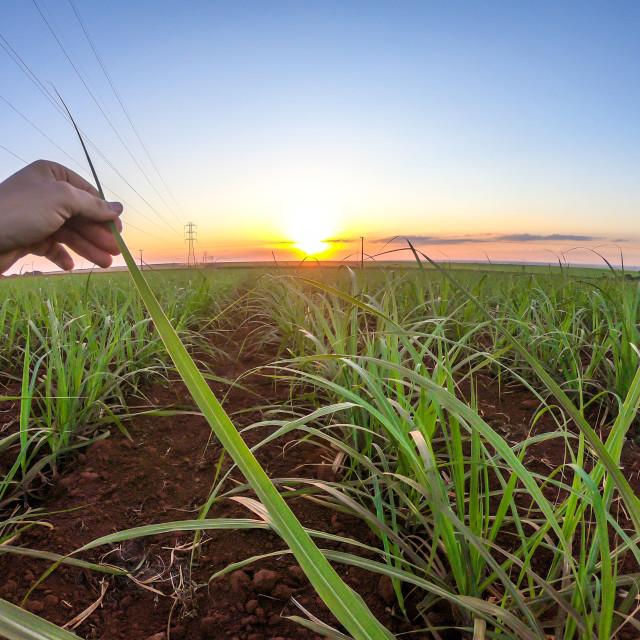 """""""Sugar cane plantation finger hand sunset"""" stock image"""