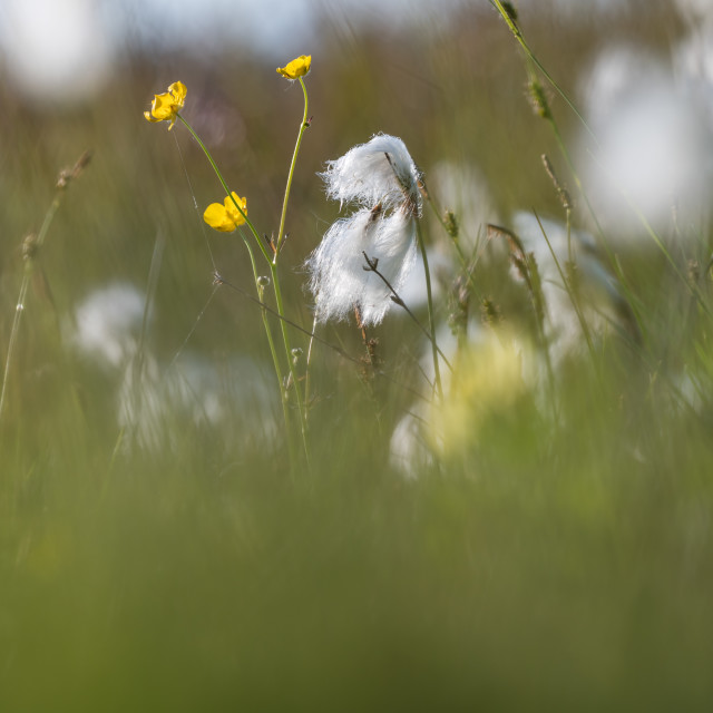 """""""Summer meadow with cotton grass and buttercups"""" stock image"""