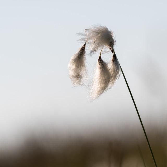 """""""Cotton grass closeup"""" stock image"""