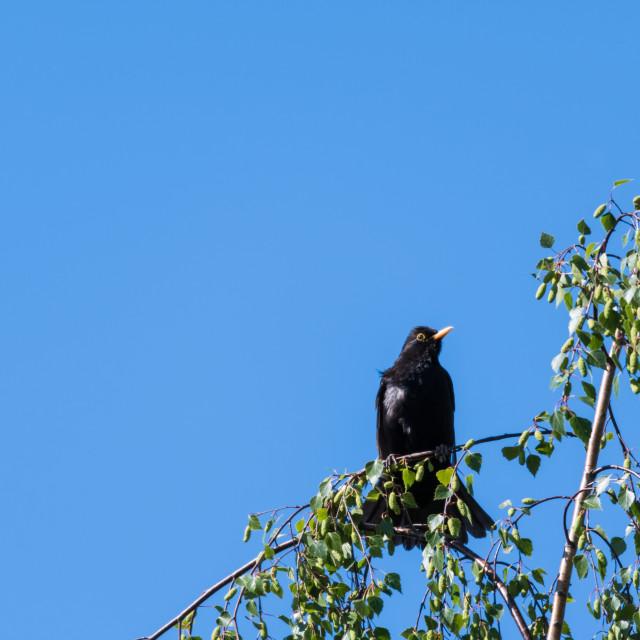 """Male Blackbird on a birch tree branch"" stock image"
