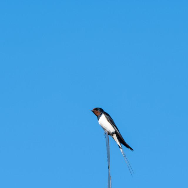 """Barn Swallow closeup"" stock image"