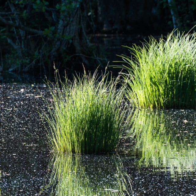 """""""Pond with reflecting grass tufts"""" stock image"""