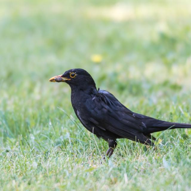 """Male Blackbird on a green lawn"" stock image"