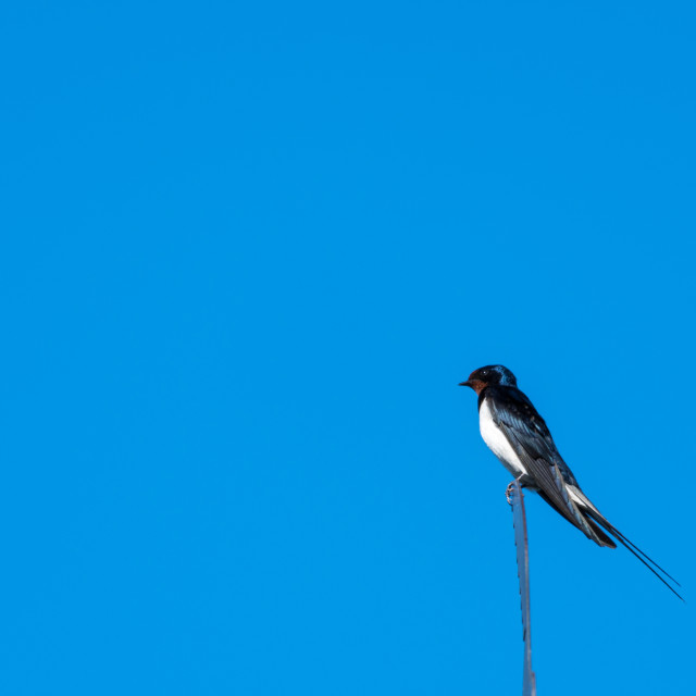 """Beautiful summer bird - Barn Swallow"" stock image"