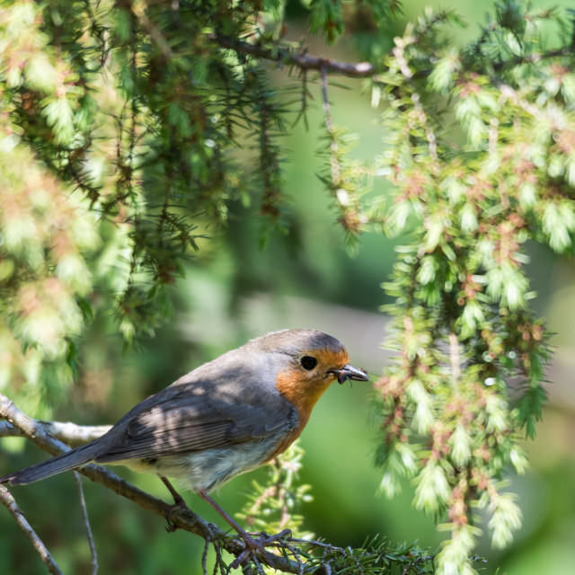 """""""Little Red Robin on a twig"""" stock image"""