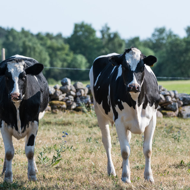 """""""Curious black and white cattle"""" stock image"""