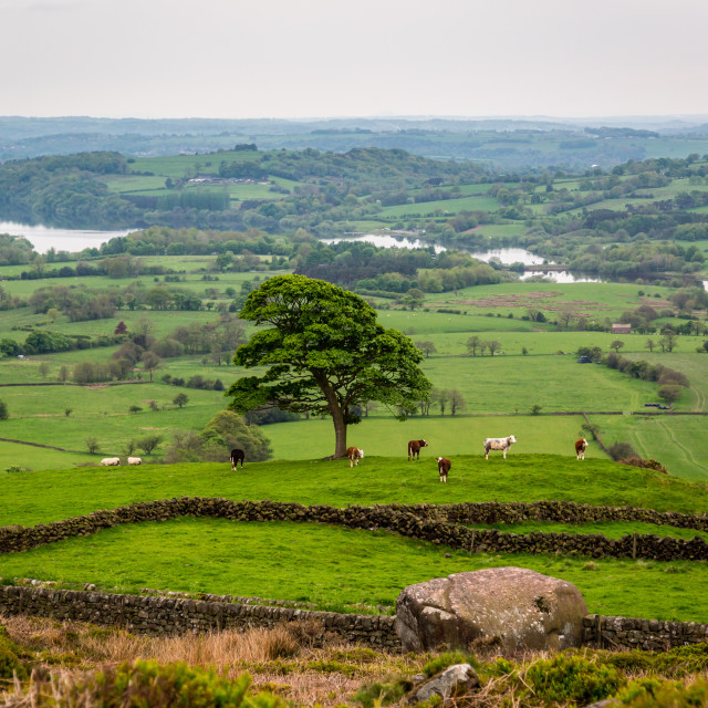 """Cows Grazing Under A Solitary Tree Overlooking Tittesworth Reservoir"" stock image"
