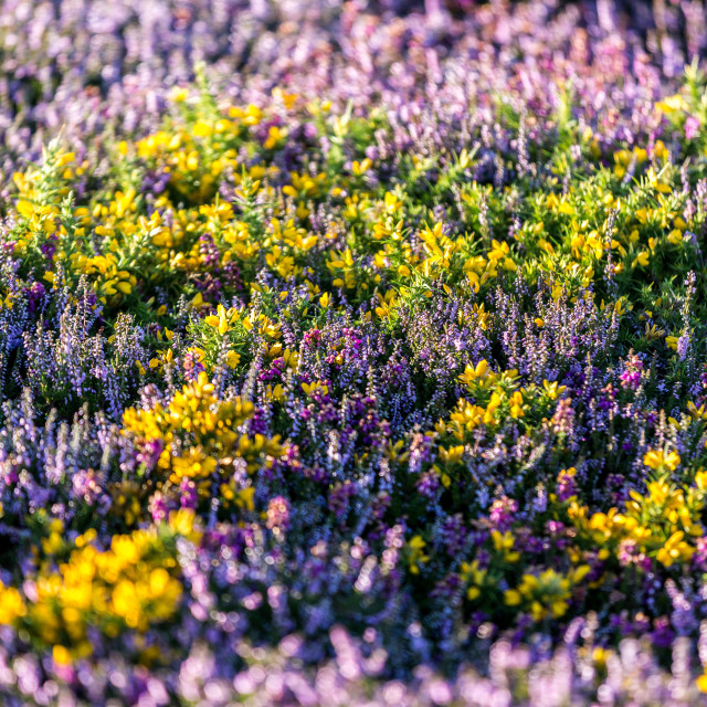 """Heather And Gorse"" stock image"