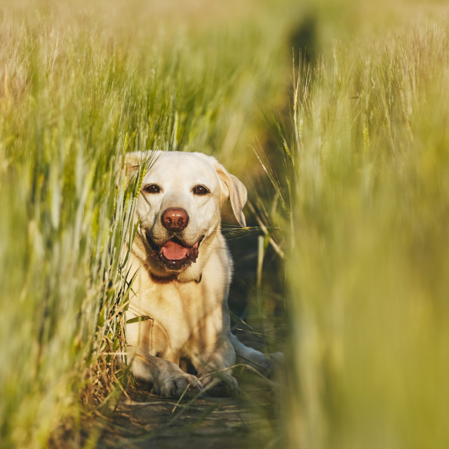 """Happy dog in countryside"" stock image"
