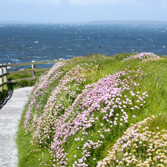"""""""cliff walk path and wild flowers in kerry"""" stock image"""