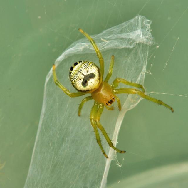 """""""Kidney garden spider"""" stock image"""