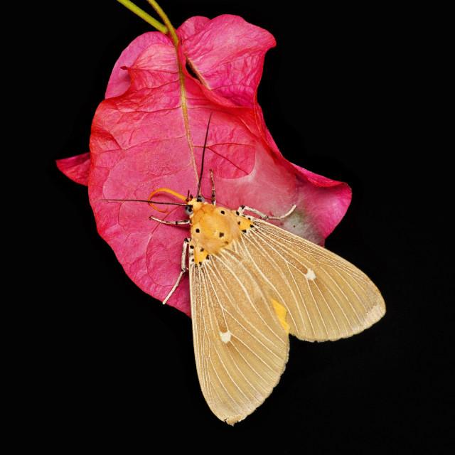 """Asota plaginota house moth"" stock image"