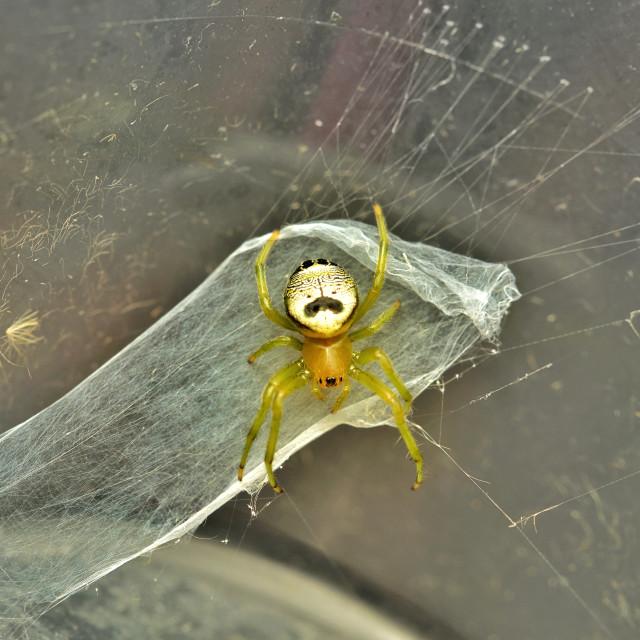 """""""Araneus mitificus spider"""" stock image"""