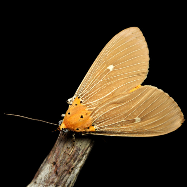 """""""Brown moth over black background"""" stock image"""