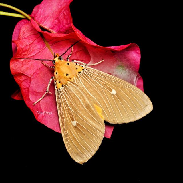"""House moth over black background"" stock image"