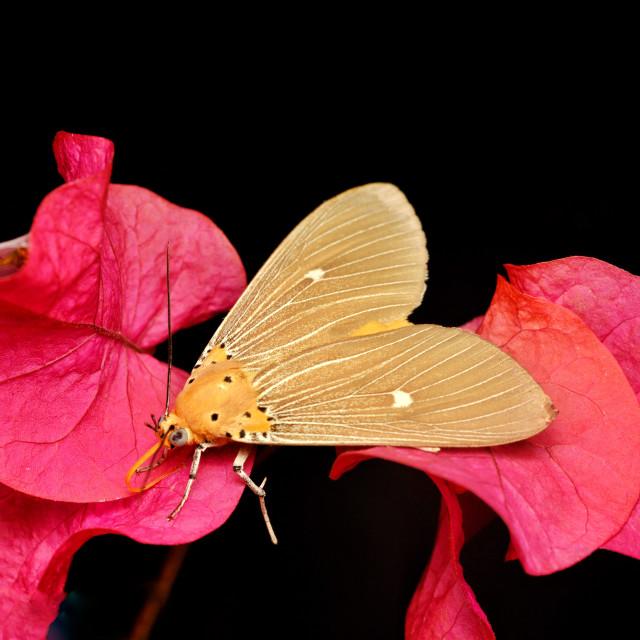 """Orange brown colour house moth"" stock image"