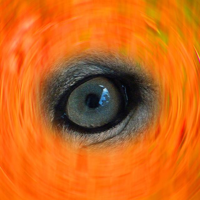 """Leopard Eye Orange Swirl"" stock image"