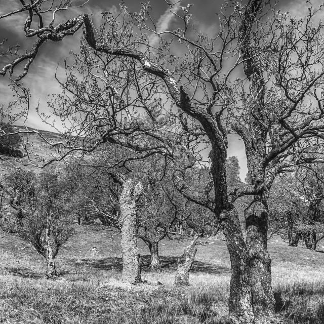 """""""Trees on Ben Vorlich"""" stock image"""