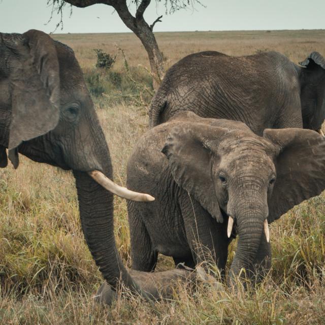 """""""Small Elephant Family"""" stock image"""