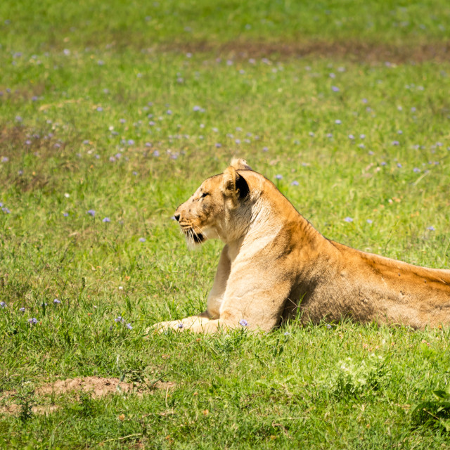 """""""A Lioness Resting in the Fields"""" stock image"""