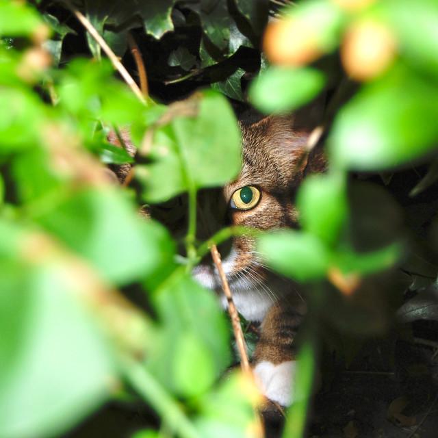 """Hidden staring cat"" stock image"