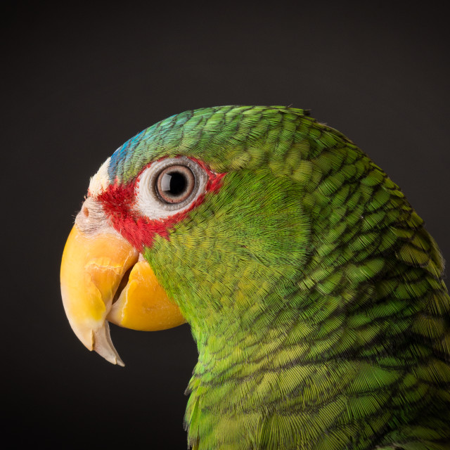 """White Fronted Amazon Parrot"" stock image"