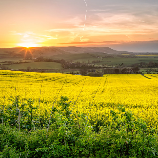 """Rapeseed Fields"" stock image"