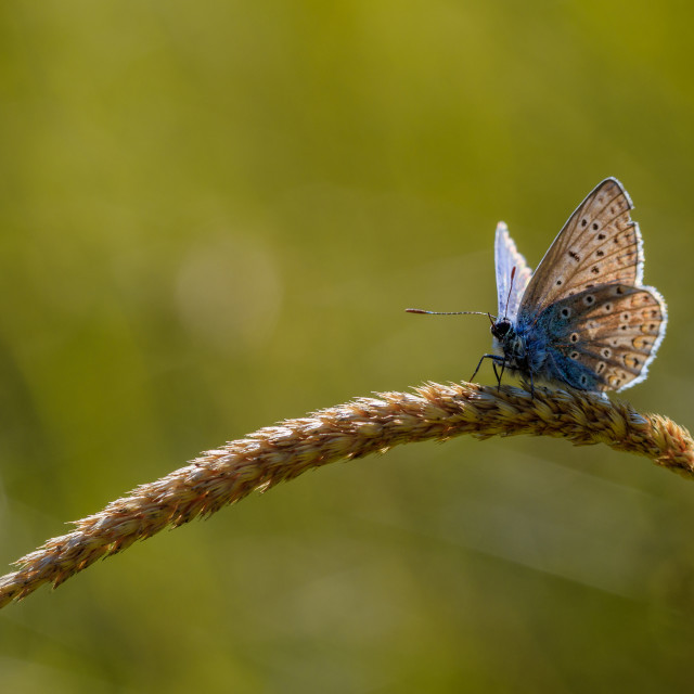 """Common Blue Butterfly on Grass Head"" stock image"