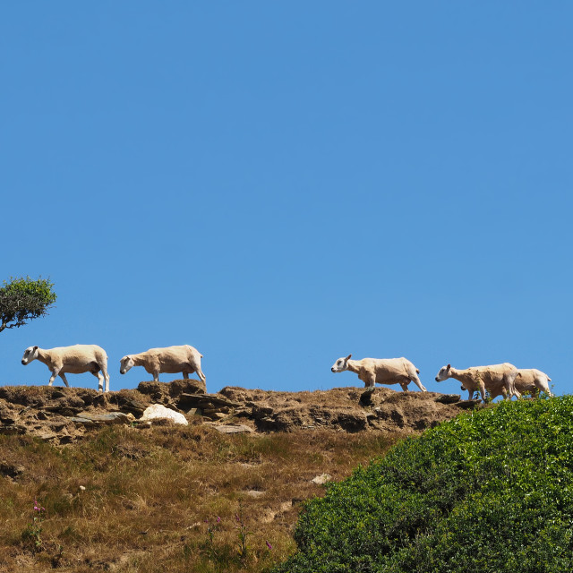 """Sheep on a hillside path"" stock image"