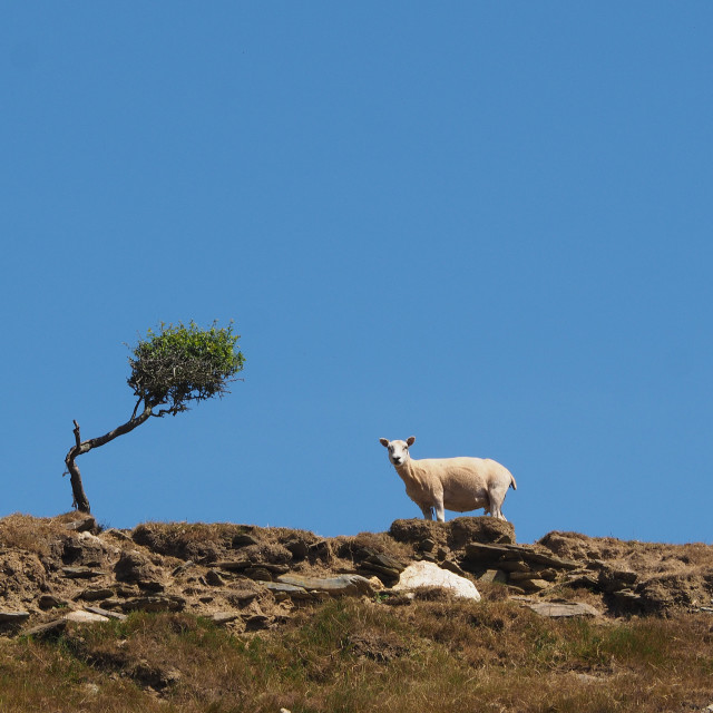 """A Sheep on a hillside path."" stock image"