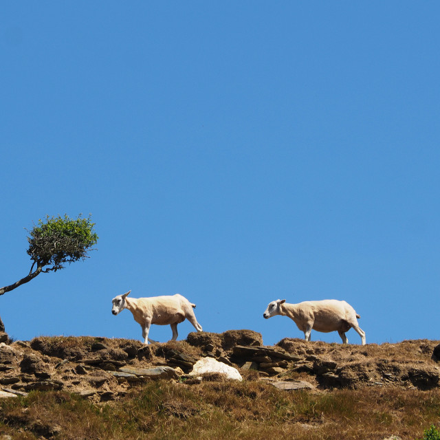 """Sheep on a hillside path."" stock image"
